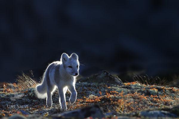 Polarfuchs,Eisfuchs,Arctic Foxes,Alopex lagopus,Vulpex lagopus 0112