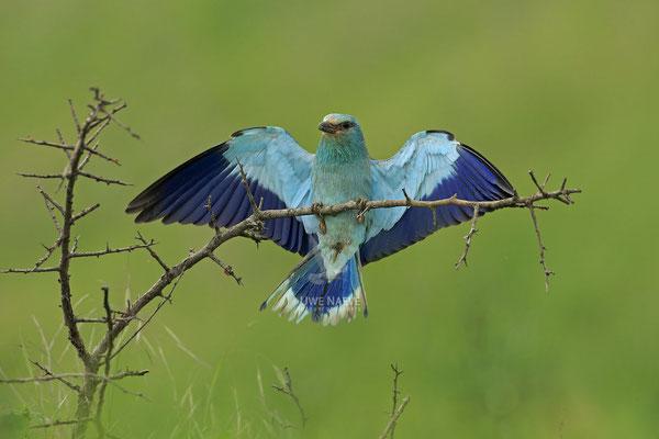 Blauracke, Coracias garrulus, Blue Roller 0029