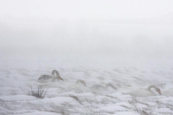 Singschwan,Whooper Swan,Cygnus cygnus 0026