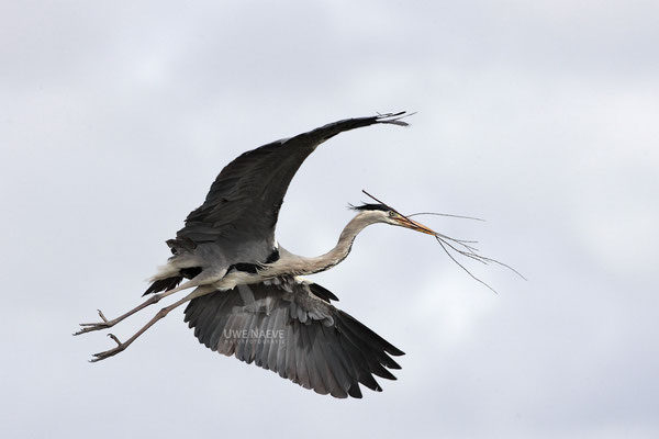 Graureiher,Grey Heron,Ardea cinerea 0008