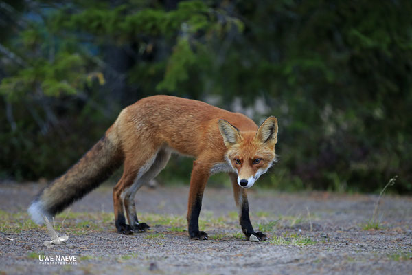 Rotfuchs,Vulpes vulpes,Red Fox 0035