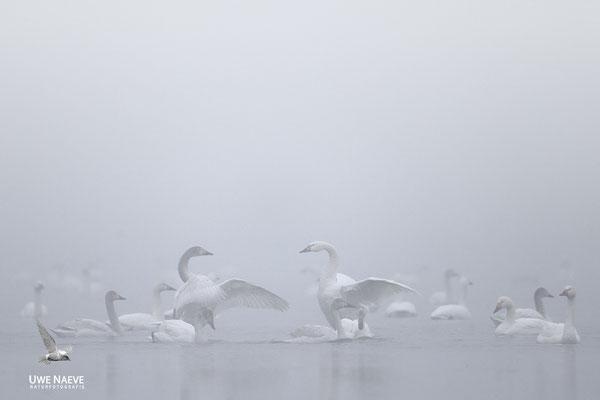 Zwergschwaene,Cygnus bewickii,Bewicks Swan 0100