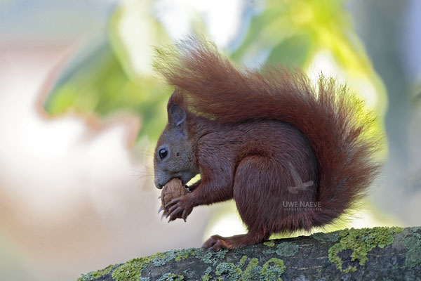 Eichhoernchen,Sciurus vulgaris,Red Squirrel 0004