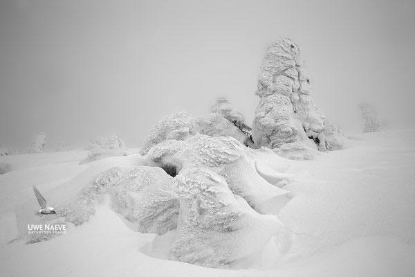 Harz, Brocken,Fichtenwald im Winter 8723