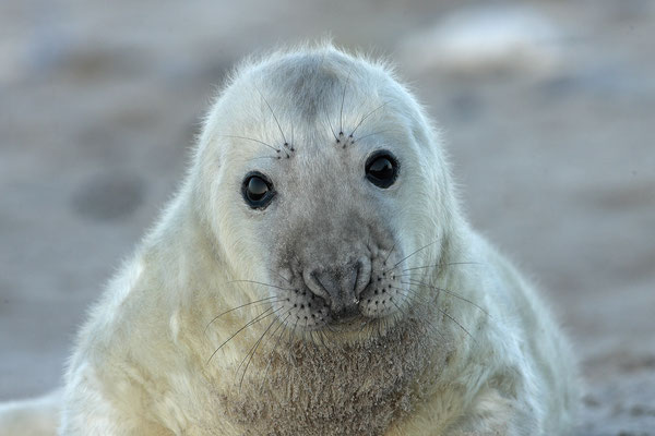 Kegelrobbe,Grey Seal,Halichoerus grypus 0035a