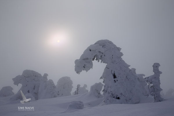 Harz, Brocken,Fichtenwald im Winter 8806