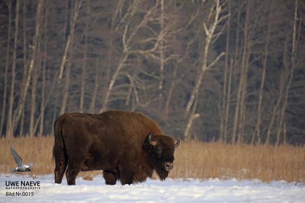 Wisentbulle,Bison bonasus,European Bison 0015