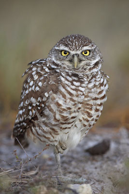 Kaninchenkauz, Burrowing Owl,Speotyto cuniculuria 0024