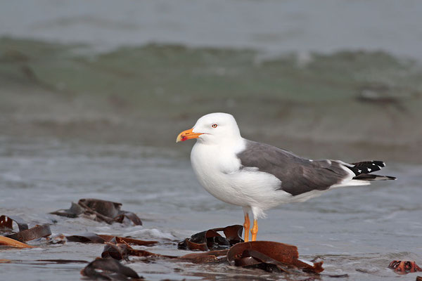 Heringsmoewe,Larus fuscus,Lesser Black-backed Gull 0005