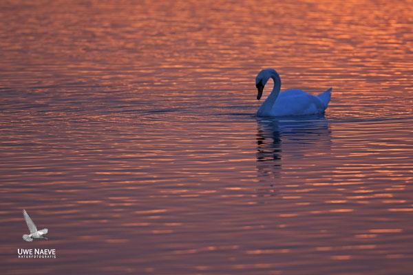 Hoeckerschwan,Mute Swan,Cygnus olor 0063