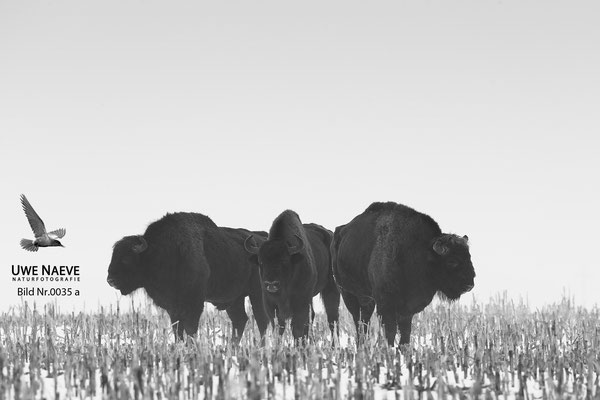 Wisentbulle,Bison bonasus,European Bison 0035a