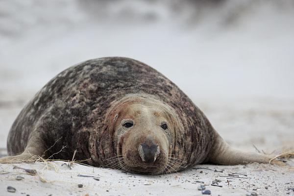 Kegelrobbe,Grey Seal,Halichoerus grypus 0015