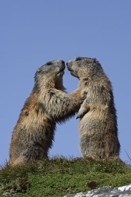 Alpenmurmeltier,Marmota,Marmot 0038