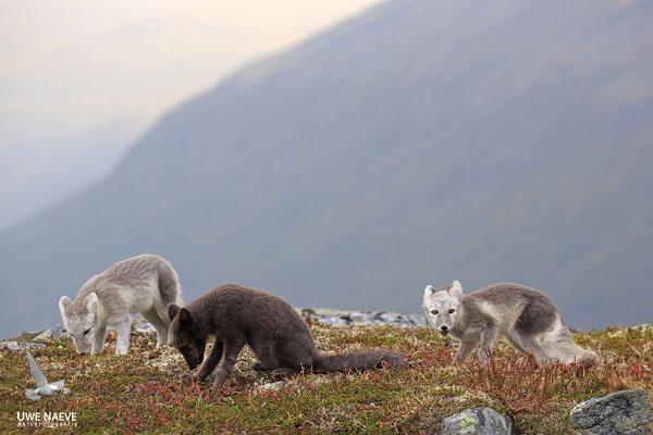 Polarfuchs,Eisfuchs,Arctic Foxes,Alopex lagopus,Vulpex lagopus 0108
