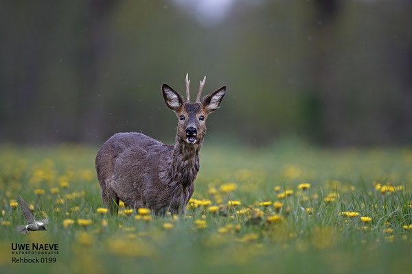 Rehbock Capreolus capreolus Roe Deer buck 0199
