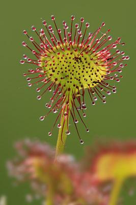 Rundblaettriger Sonnentau Drosera rotundifolia Cammon Sundew 0013
