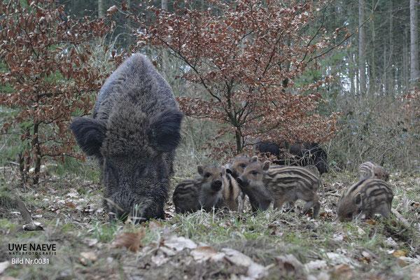 Wildschwein Bache mit Frischling,Wild Boar Sow with Piglets,Sus scrofa 0031