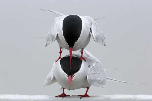 Küstenseeschwalbe,ArcticTern,Sterna paradisaea 0052