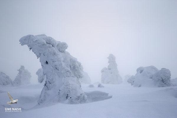 Harz, Brocken,Fichtenwald im Winter 8846