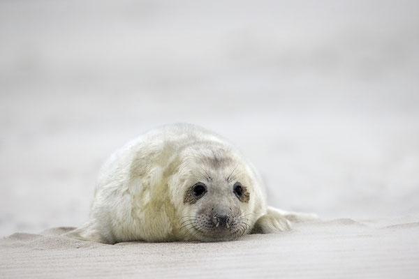 Kegelrobbe,Grey Seal,Halichoerus grypus 0140