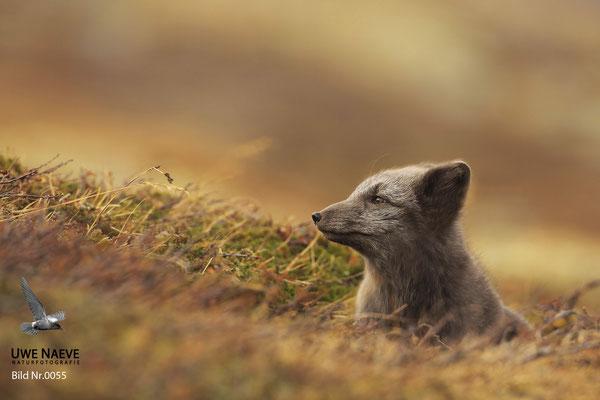 Polarfuchs,Eisfuchs,Arctic Foxes,Alopex lagopus,Vulpex lagopus 0055