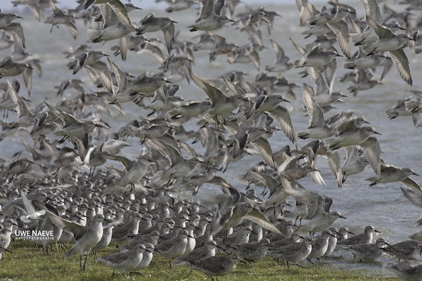 Knutts,Calidris canutus,Red Knots 0020
