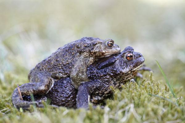 Erdkroete,Bufo bofo,Cammon Toad 0014