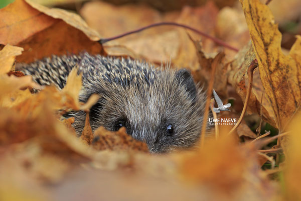 Europaeischer Igel,European Hedgehog,Erinaceus europeas 0038