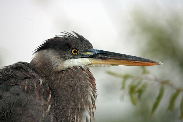 Kanadareiher, Great bleu Heron,Adrea herdias 01074