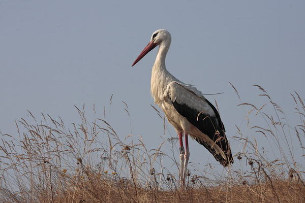 Weissstorch,White Stork,Ciconia ciconia 0064