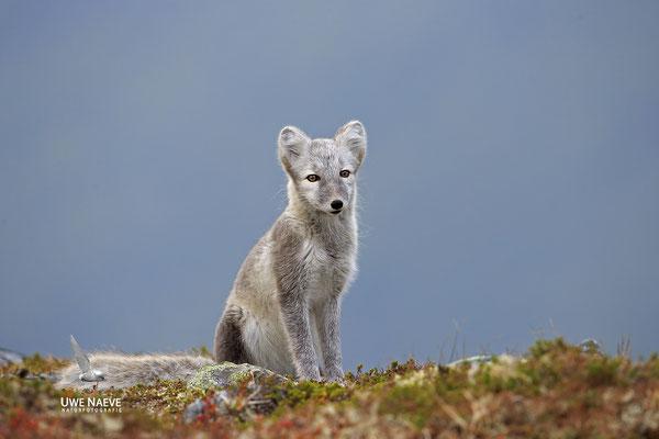 Polarfuchs,Eisfuchs,Arctic Foxes,Alopex lagopus,Vulpex lagopus 0089