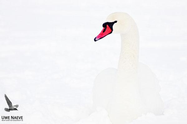 Hoeckerschwan,Mute Swan,Cygnus olor 0008