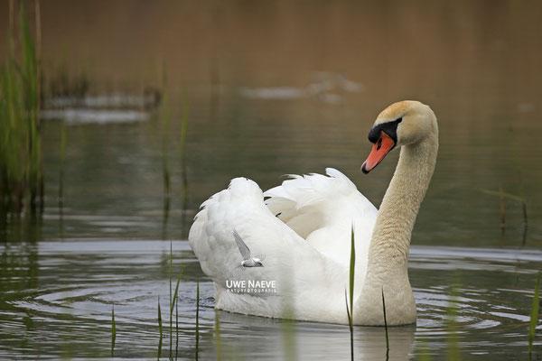 Hoeckerschwan,Mute Swan,Cygnus olor 0033