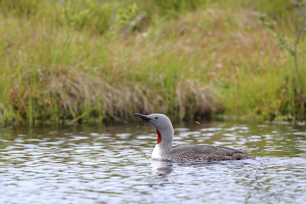 Sterntaucher,Gavia stellata,Red-throated Diver 0007