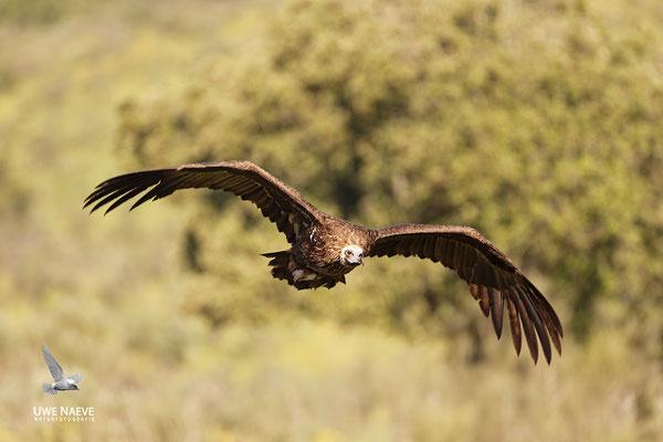 Moenchsgeier Aegypius monachus Black vulture 0005