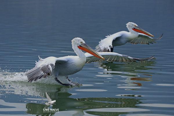 Krauskopfpelikan,Dalmatien pelican,pelecanus crispus 0083