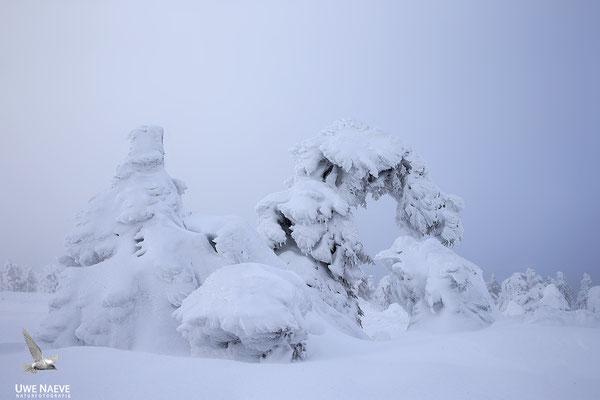 Harz, Brocken,Fichtenwald im Winter 8905