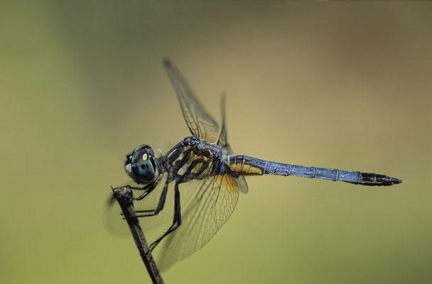 Blue Dasher ,Weibchen,  0635
