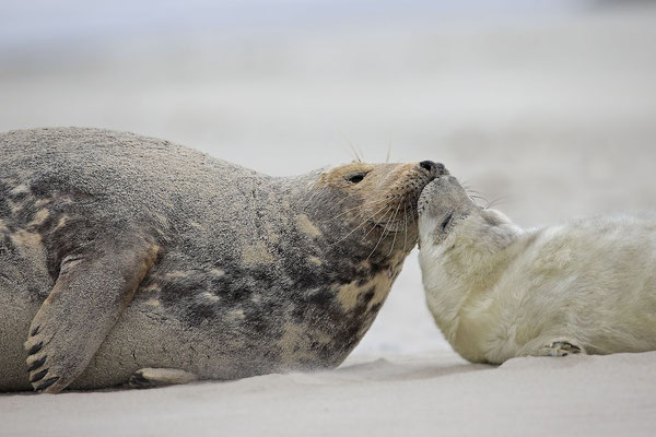 Kegelrobbe,Grey Seal,Halichoerus grypus 0142