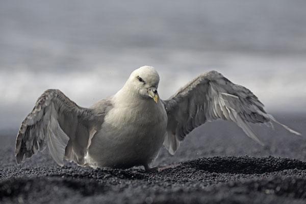 Eissturmvogel Fulmaris glacialis Northern Fulmar 0005