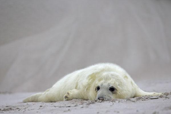 Kegelrobbe,Grey Seal,Halichoerus grypus 0153