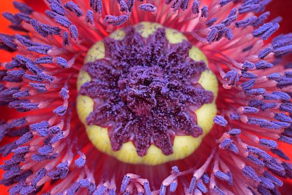 Tuerkischer Mohn papaver orientale Poppy 0006