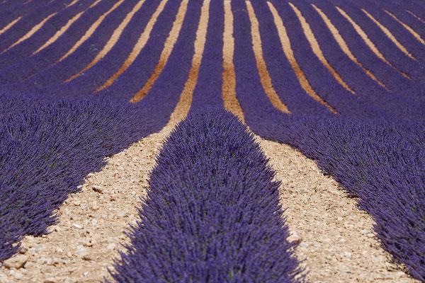 Lavendel,Lavender,Lavendula angustifolia 0001