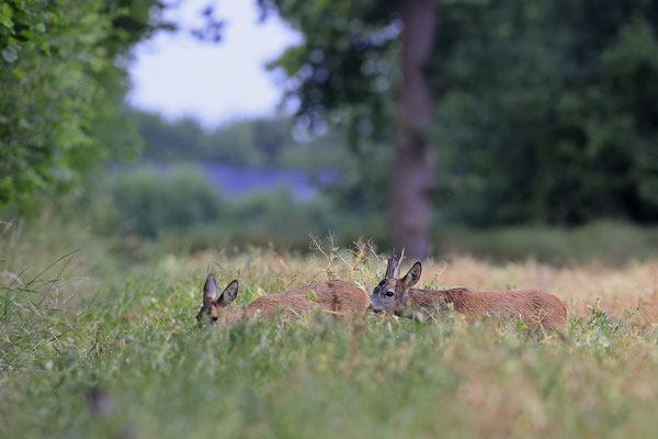 Rehbock,Capreolus capreolus,Roe Deer buck 0259