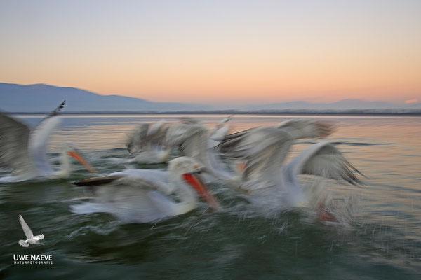 Krauskopfpelikan,Dalmatien pelican,pelecanus crispus 0079