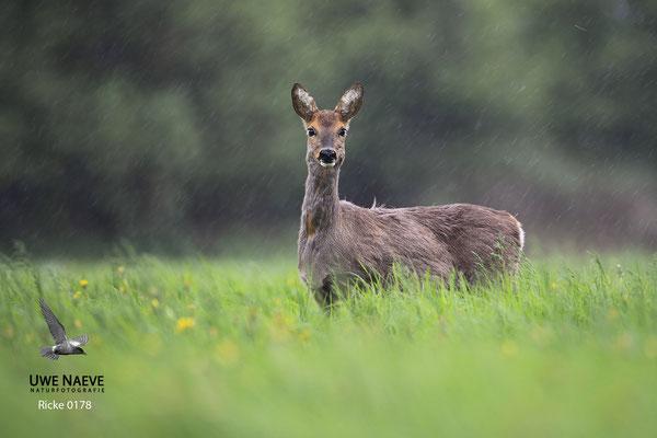 Reh,Ricke,Roe Deer doe,Capreolus capreolus 0178