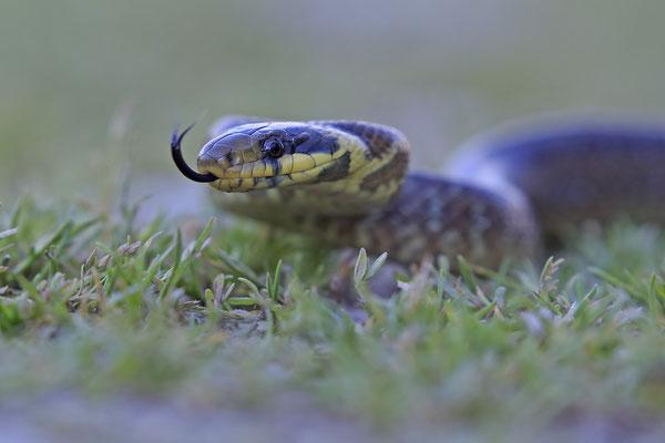 Äskulapnatter,Zamenis Congissimus,Aesculapian Snake 0001