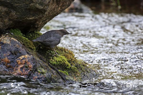 Wasseramsel,Cinclus cinclus,Water-blackbird 0009