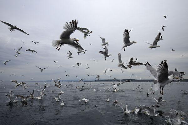 Silbermoewe Larus argentatus herring gull 4182