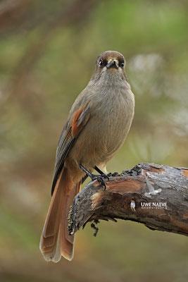 Ungluekshaeher, Perisorcus infaustus, Siberian Jay 0015